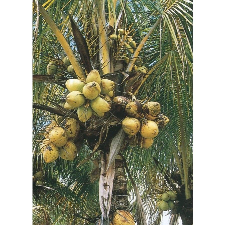 26-Gallon Coconut Palm (LTL0012)
