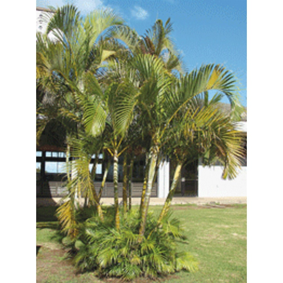 2.3-Gallon Areca Palm (LTL0010)
