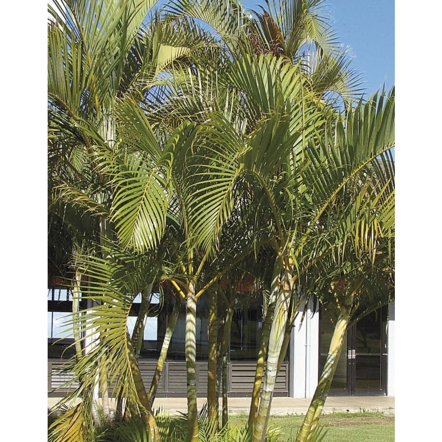 14-Gallon Areca Palm (LTL0010)