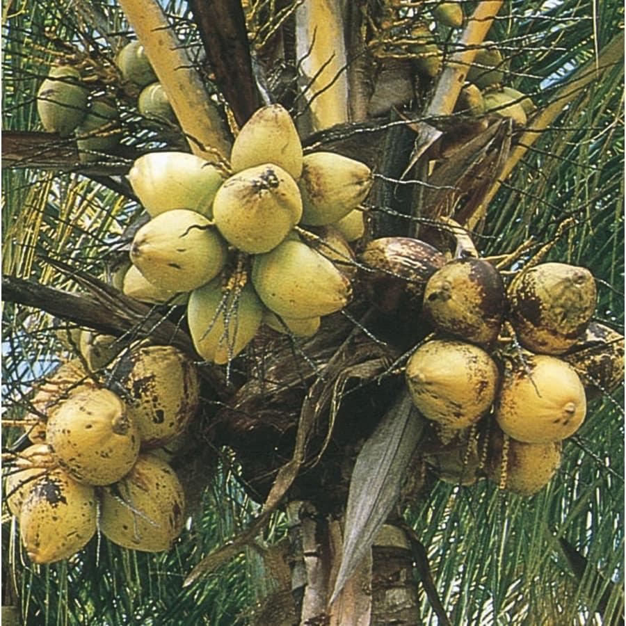 4-Gallon Coconut Palm (LTL0012)