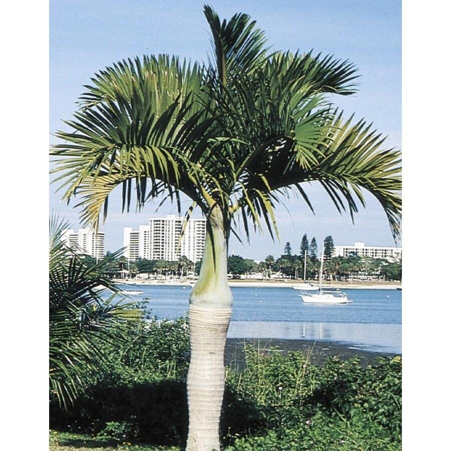 4-Gallon Spindle Palm (L11094)