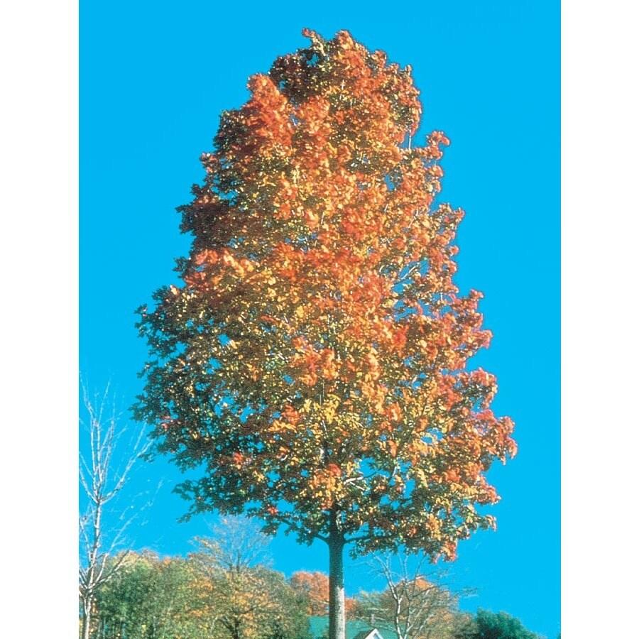 12.7-Gallon Commemoration Sugar Maple Shade Tree (L1112)