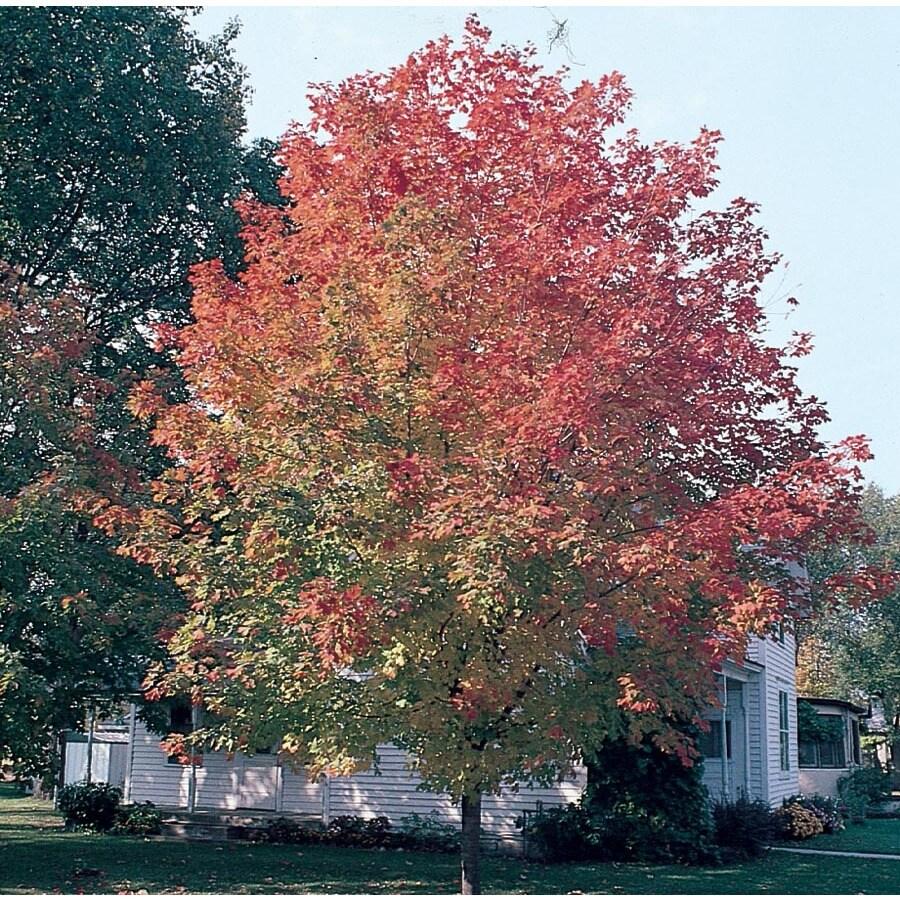 12.7-Gallon Fall Fiesta Sugar Maple Shade Tree (LW02874)