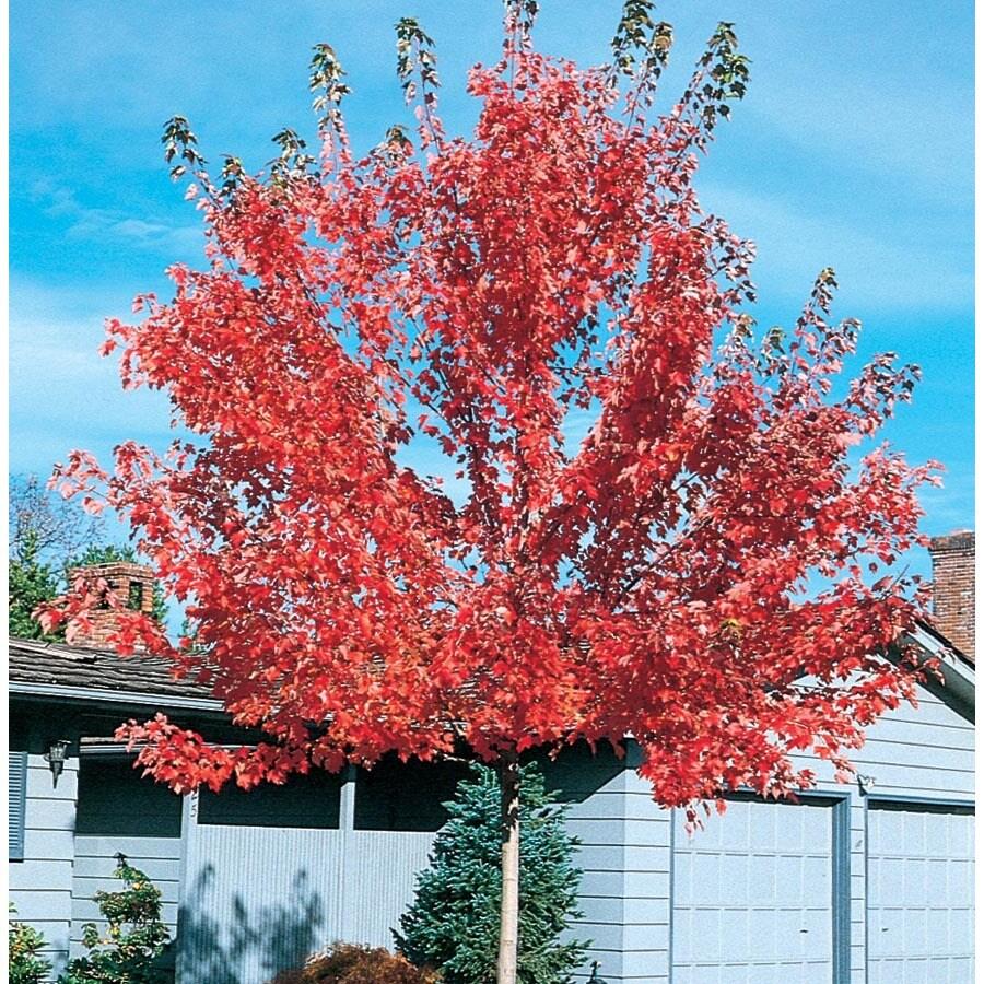 12.7-Gallon Pacific Sunset Maple Shade Tree (L14855)
