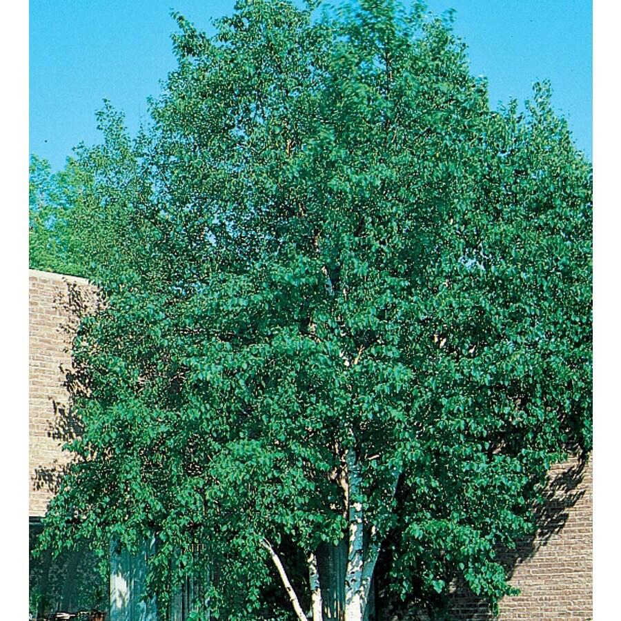 12.7-Gallon Heritage Clump River Birch Feature Tree (L5406)
