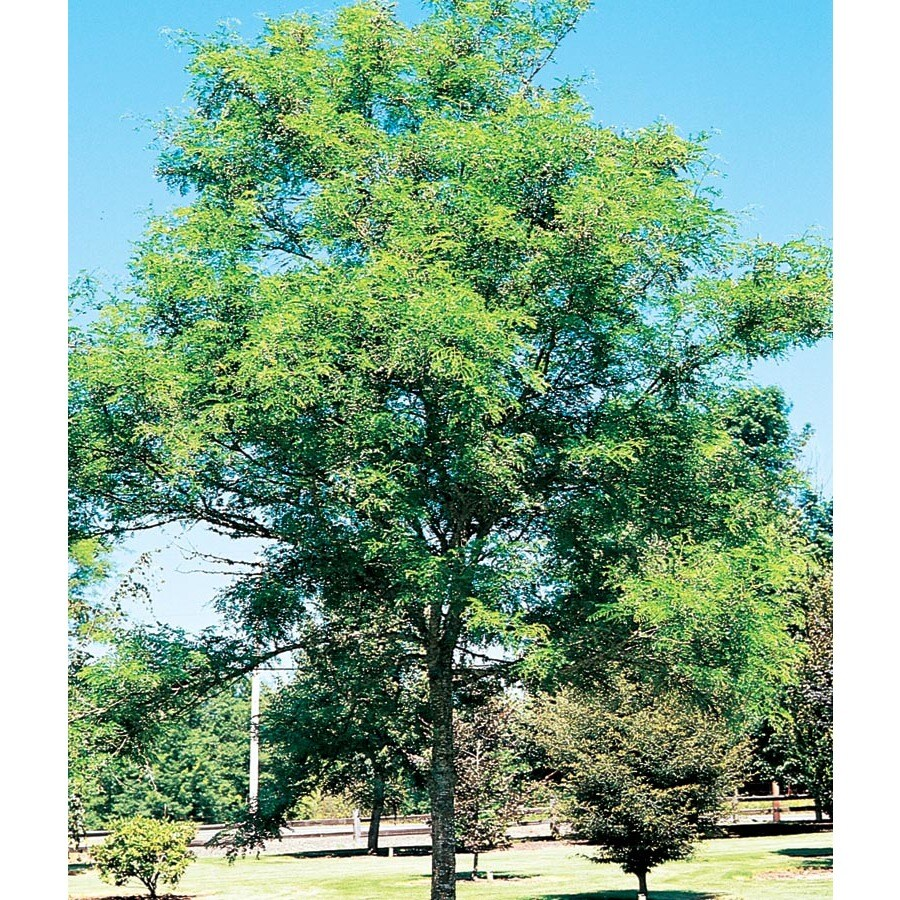 12.7-Gallon Imperial Thornless Honeylocust Shade Tree (L10523)