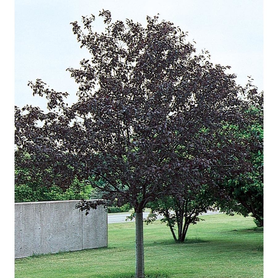 12.7-Gallon Royalty Crabapple Flowering Tree (L3586)