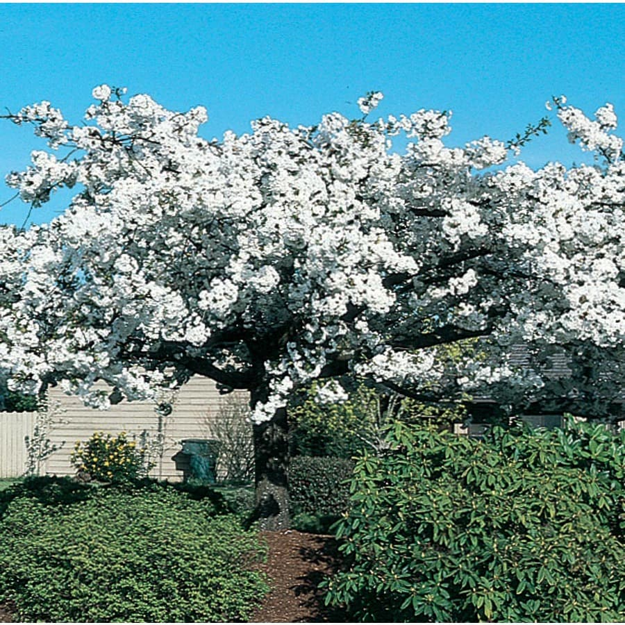 12.7-Gallon Mount Fuji Flowering Cherry Flowering Tree (L7715)
