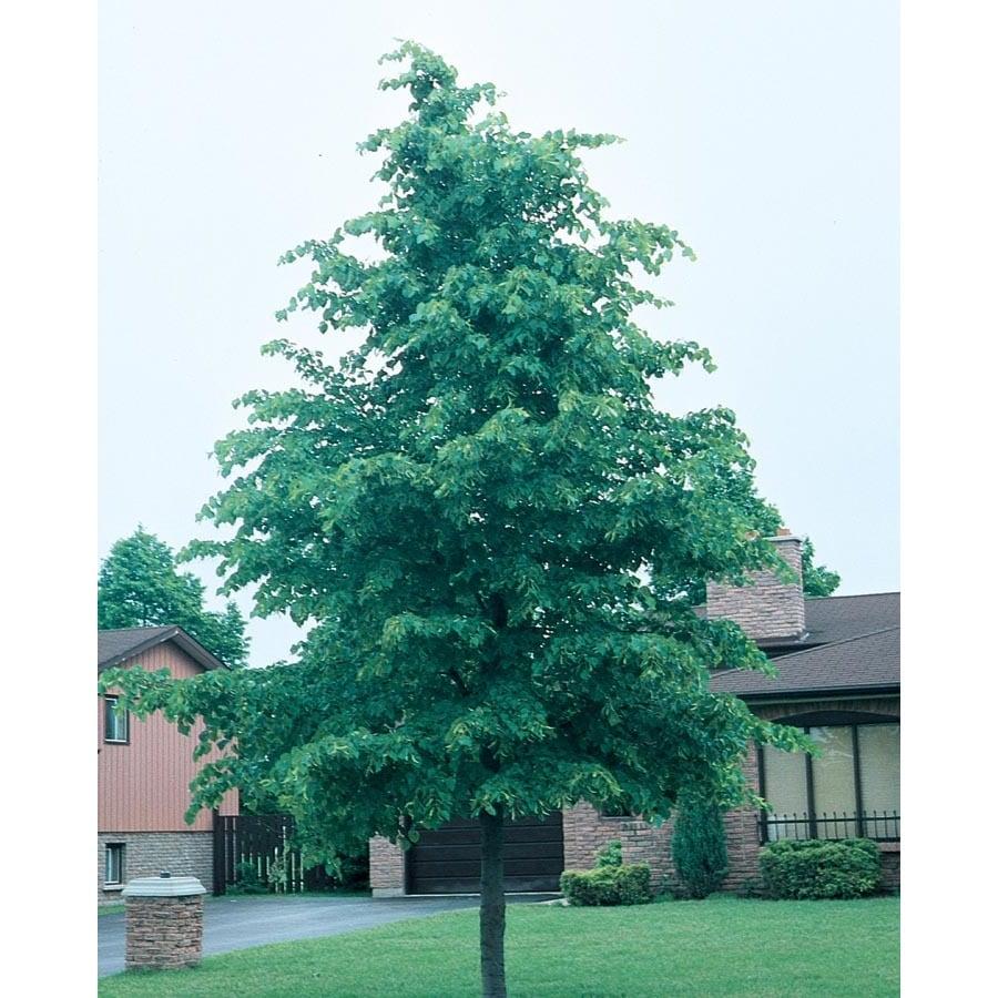 12.7-Gallon Glenleven Linden Shade Tree (L1098)