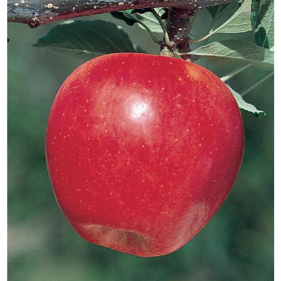 3.64-Gallon Gala Apple Tree (L4520)