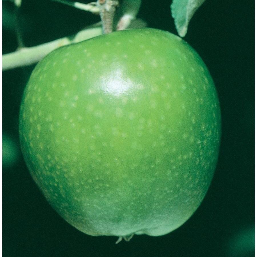 3.64-Gallon Granny Smith Apple Tree (L3198)