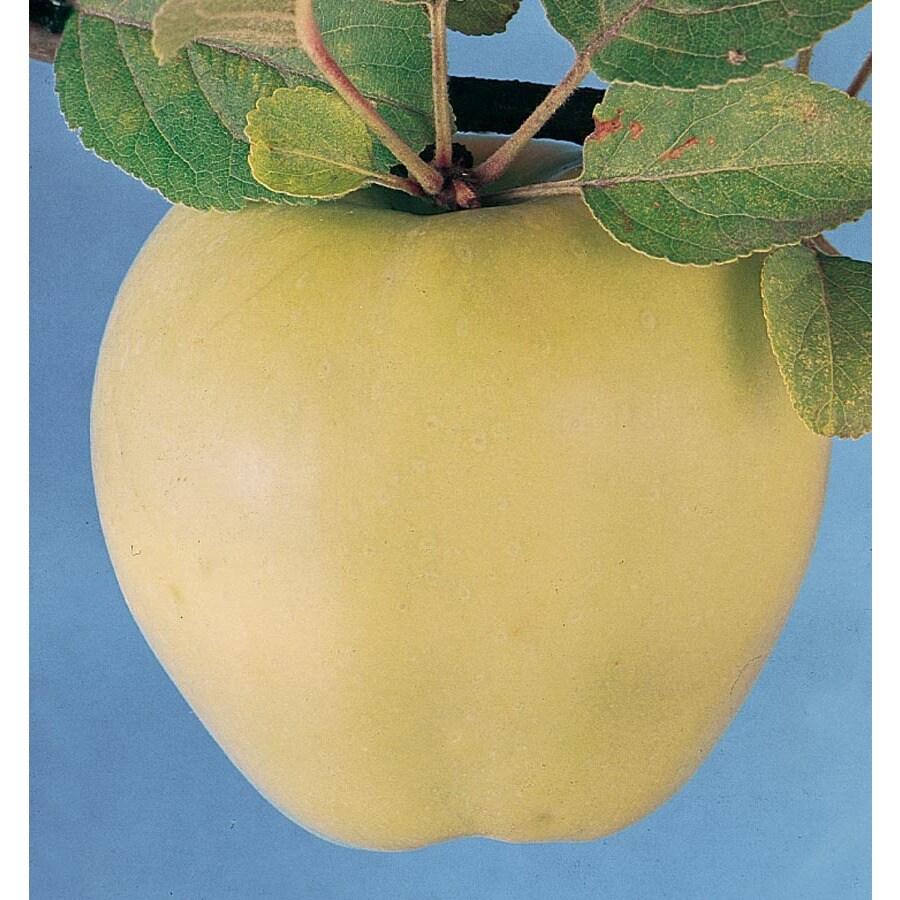 3.64-Gallon Lodi Apple Tree (L1177)