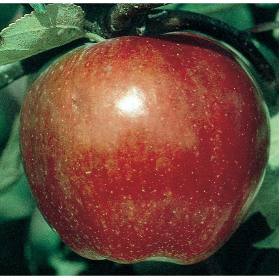 3.64-Gallon Macoun Apple Tree (L26374)