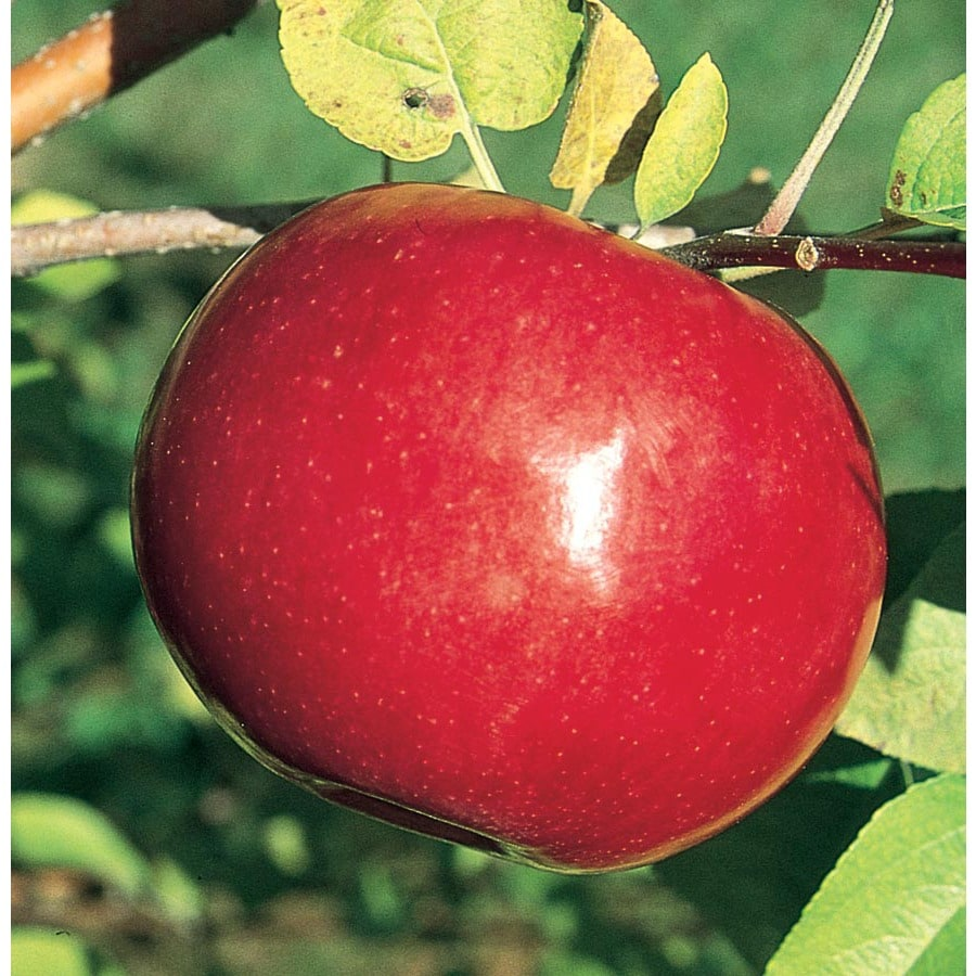 3.64-Gallon McIntosh Apple Tree (L1305)