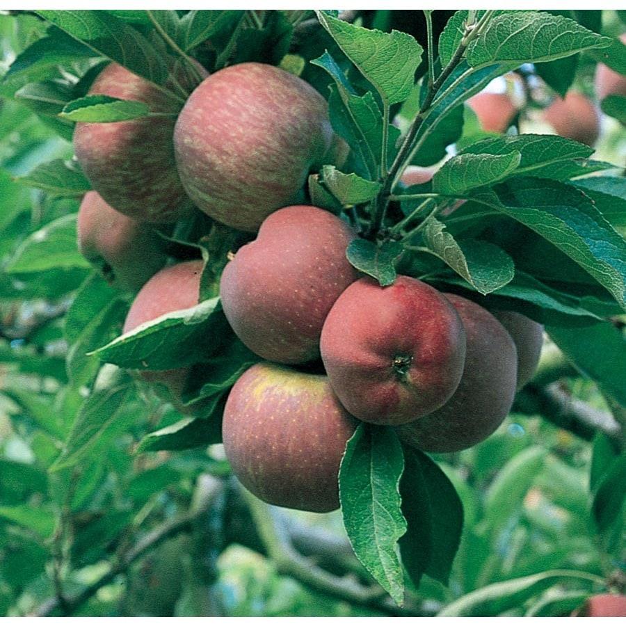 3.64-Gallon Red Delicious Dwarf Apple Tree (L1320)