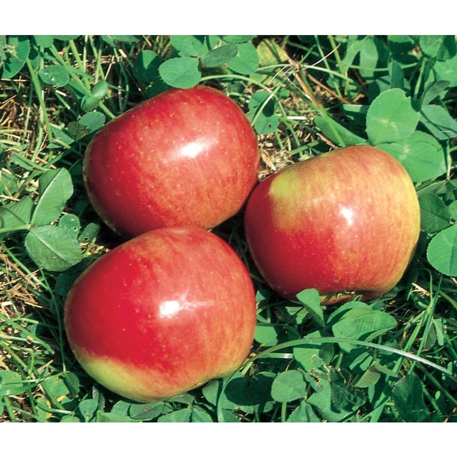 3.64-Gallon State Fair Apple Tree (L16602)