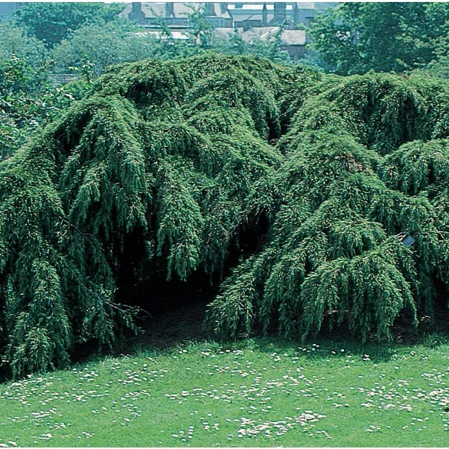 7.28-Gallon Weeping Cedar Of Lebannon Feature Tree (L6294)