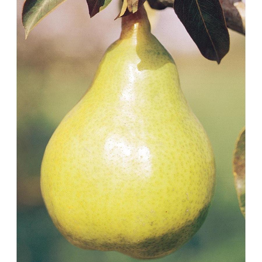 3.64-Gallon Bartlett Pear Tree (L1386)