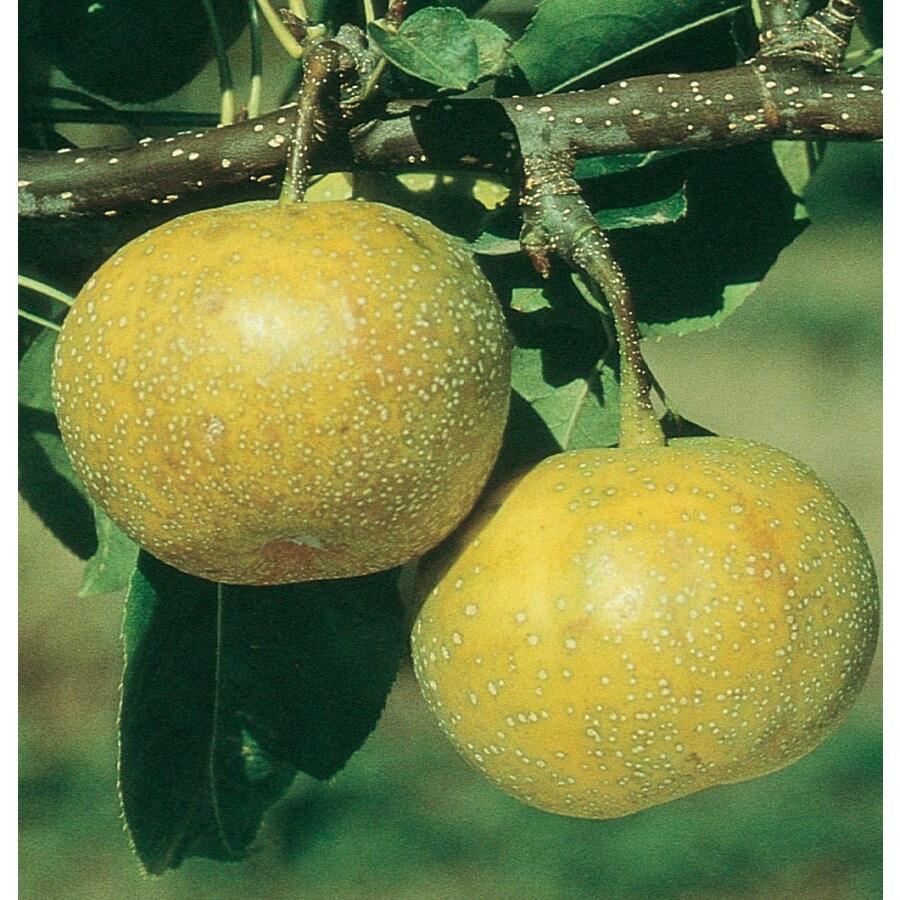 3.64-Gallon 20th Century Asian Pear Tree (L1288)