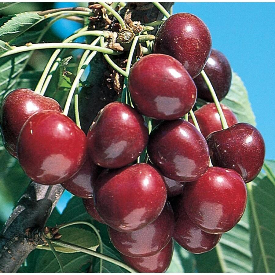 3.64-Gallon Stella Cherry Tree (L10481)