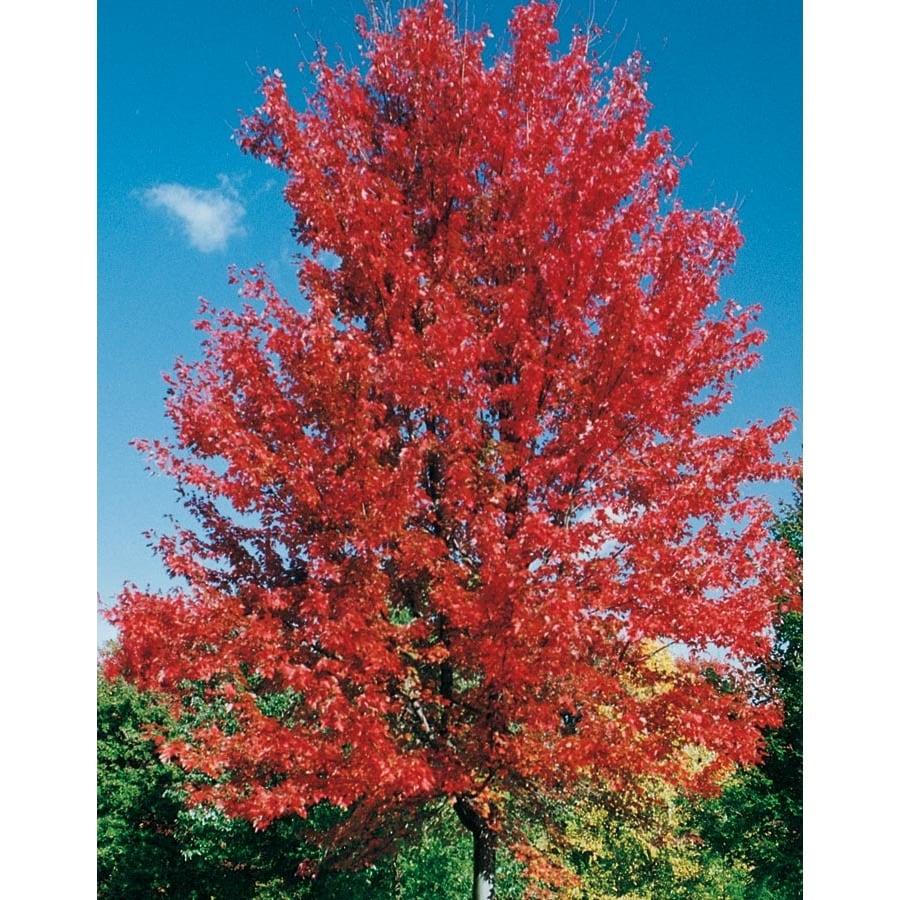 3.64-Gallon Autumn Blaze Maple Shade Tree (L1123)