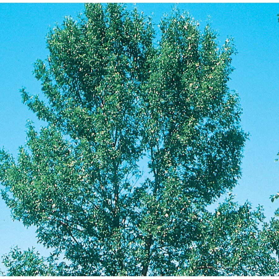 3.64-Gallon Patmore Ash Shade Tree (L3494)