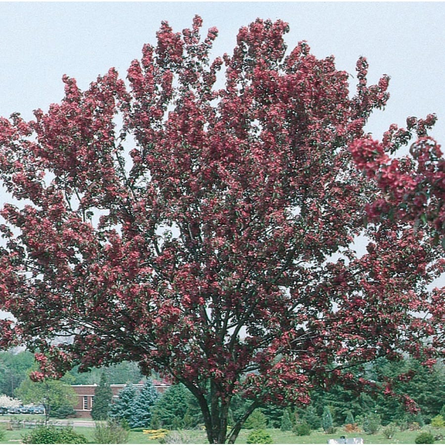 3.64-Gallon Red Baron Crabapple Flowering Tree (L6134)