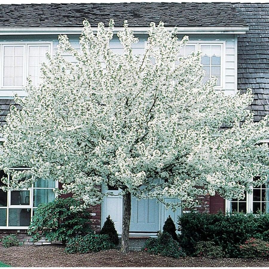3.64-Gallon Spring Snow Crabapple Flowering Tree (L3593)