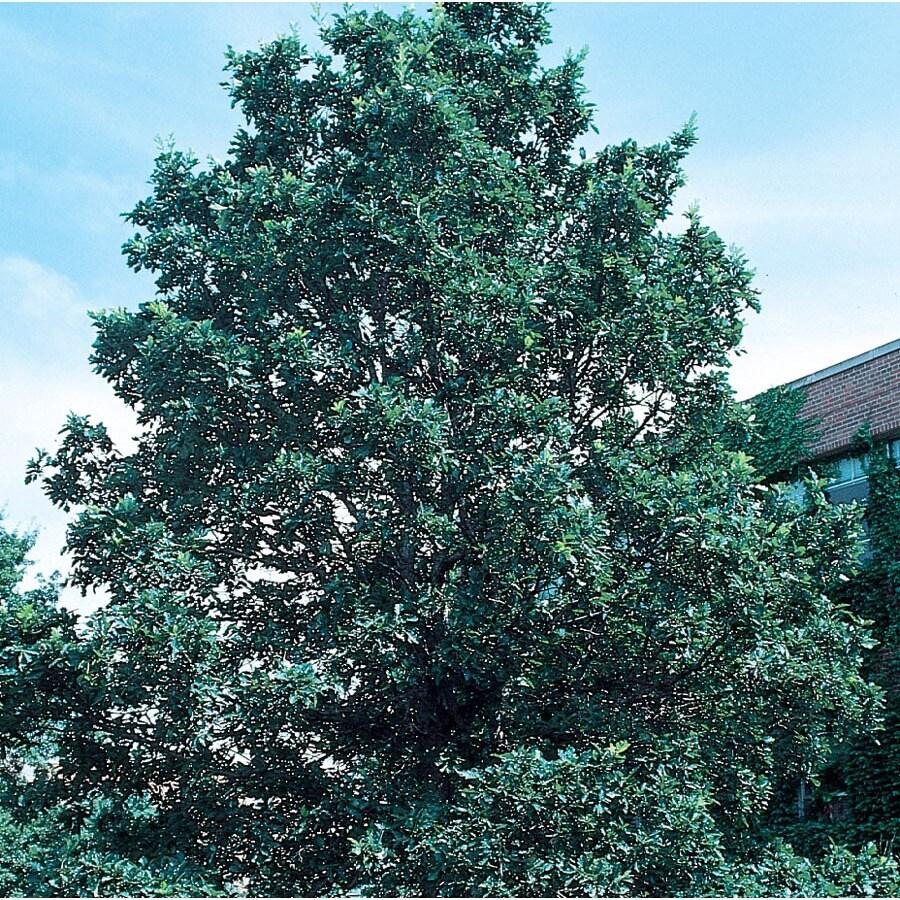 3.64-Gallon Swamp White Oak Shade Tree (L9931)