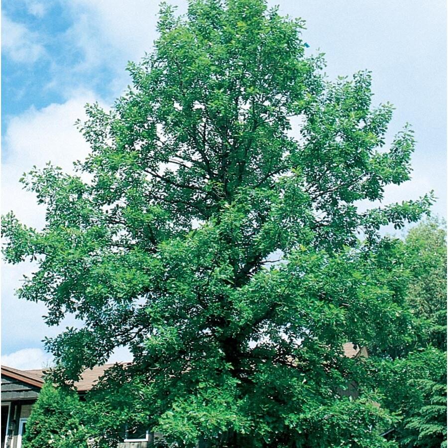3.64-Gallon Bur Oak Shade Tree (L1102)
