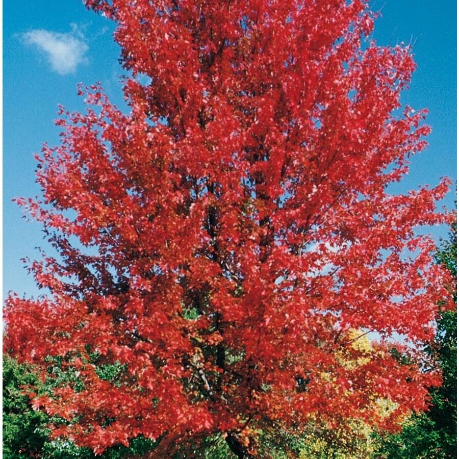 7.28-Gallon Autumn Blaze Maple Shade Tree (L1123)