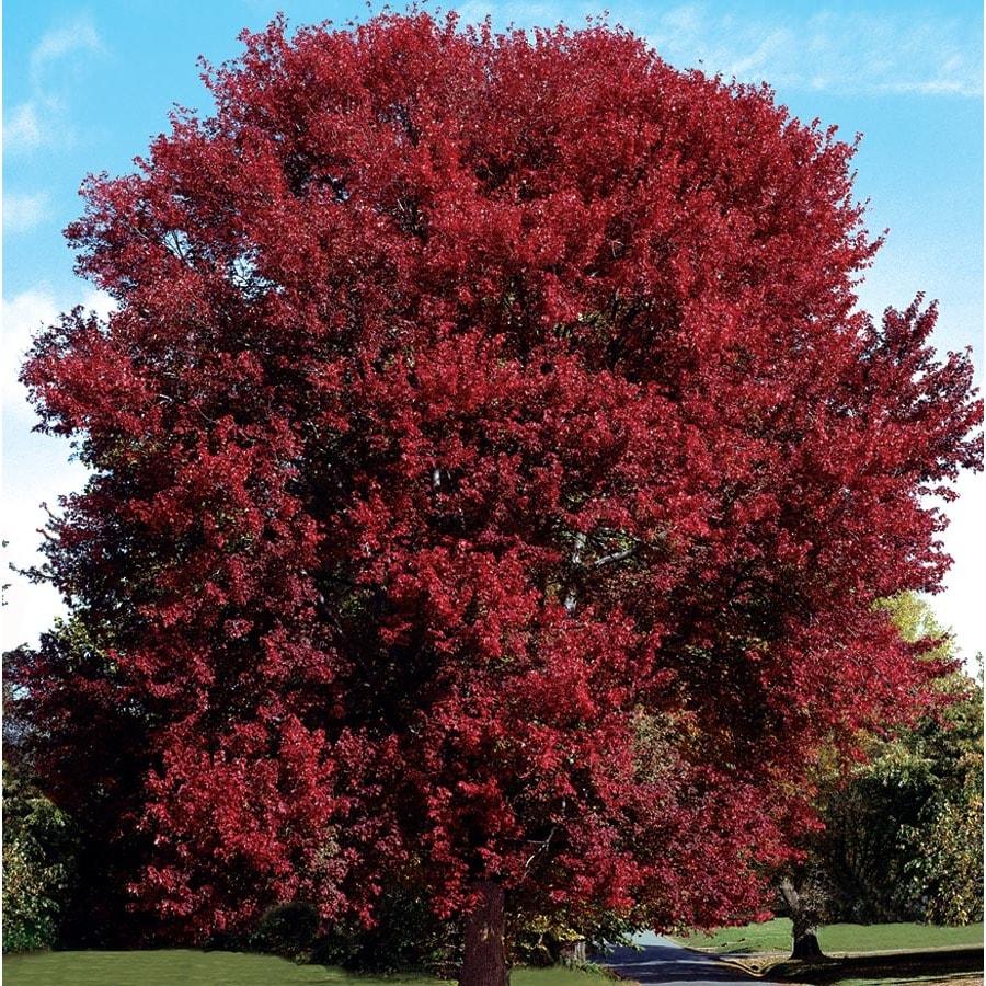 7.28-Gallon Burgundy Belle Maple Shade Tree (L2079)