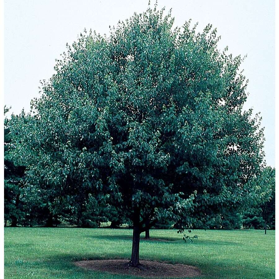 7.28-Gallon Red Sunset Maple Shade Tree (L1129)