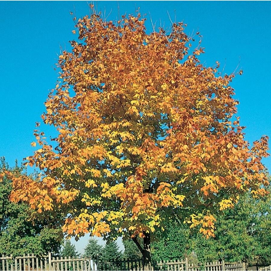 7.28-Gallon Green Mountain Sugar Maple Shade Tree (L1155)