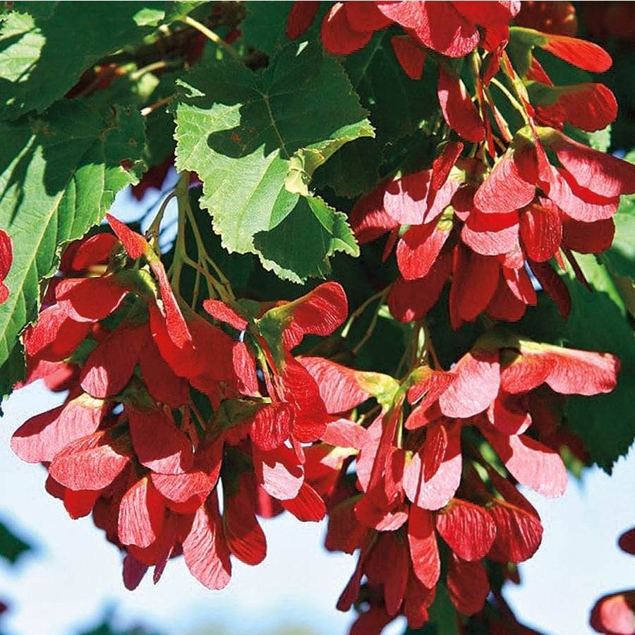 7.28-Gallon Hot Wings Tatarian Maple Feature Tree (L27236)