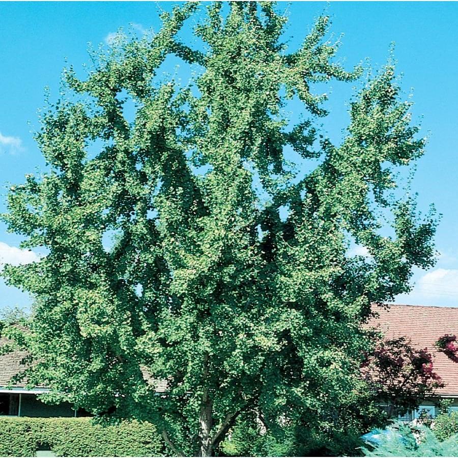 7.28-Gallon Ginkgo Shade Tree (L1045)