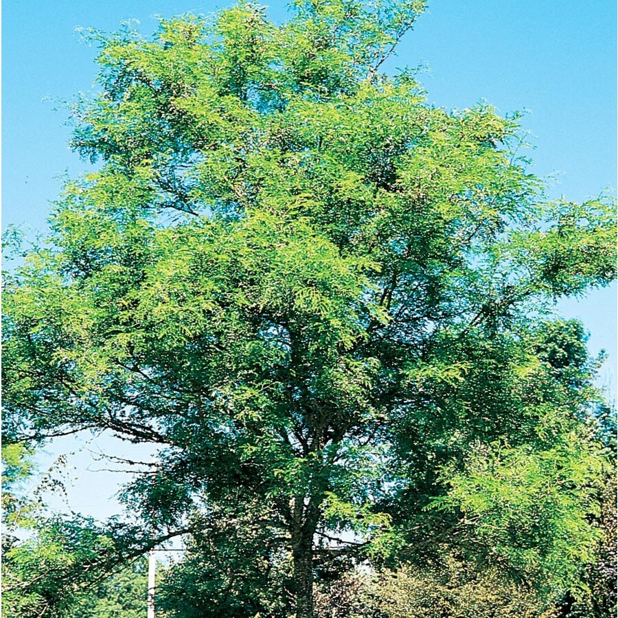 7.28-Gallon Imperial Thornless Honeylocust Shade Tree (L10523)