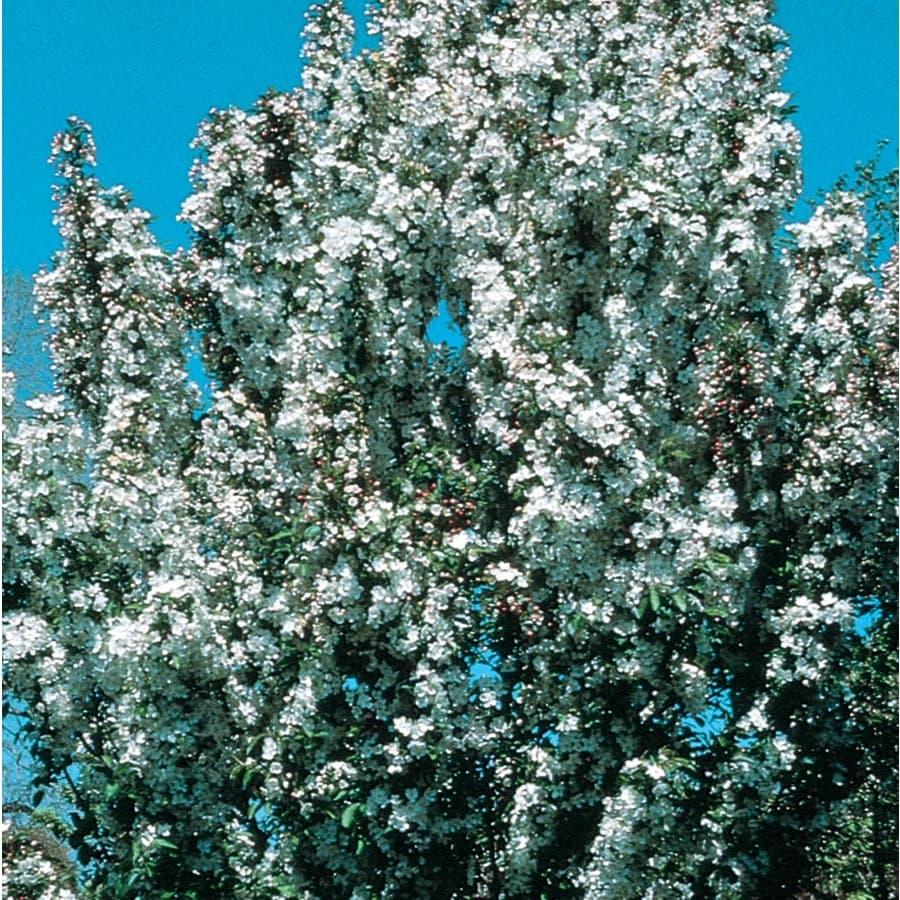 7.28-Gallon Adirondack Crabapple Flowering Tree (L27239)