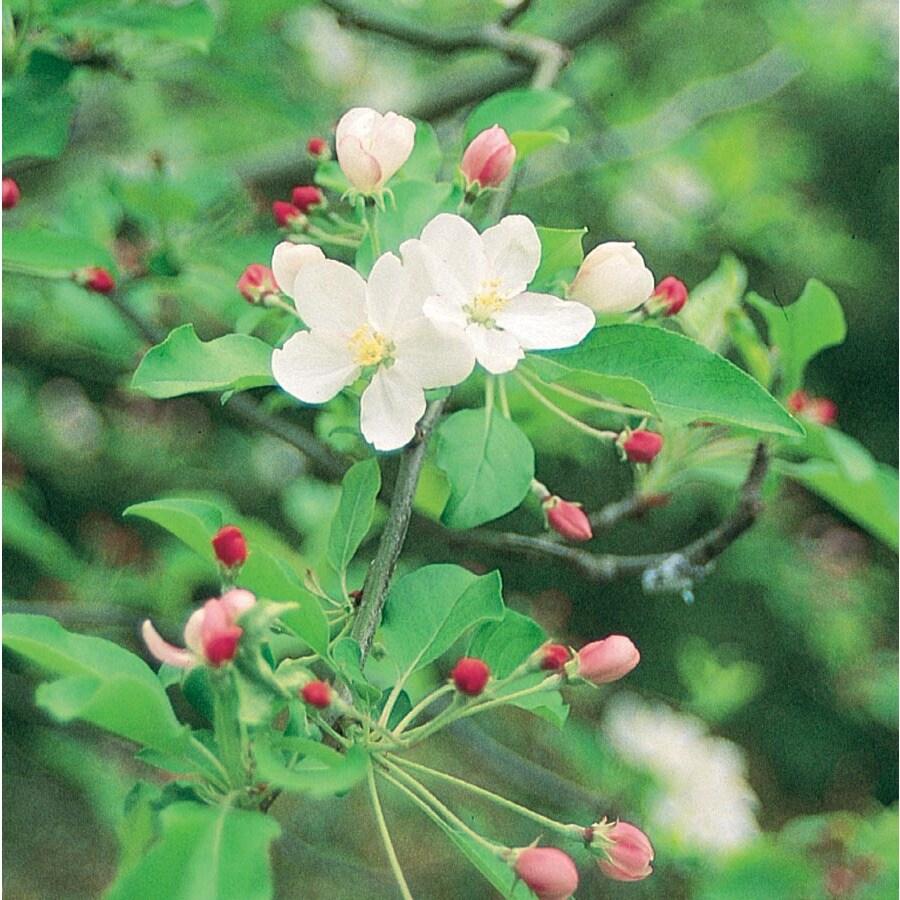 7.28-Gallon Mollie Ann Crabapple Flowering Tree (L27246)