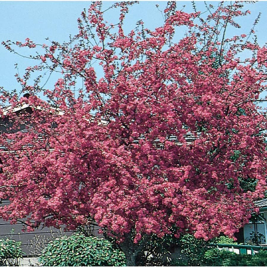 7.28-Gallon Profusion Crabapple Flowering Tree (L1376)