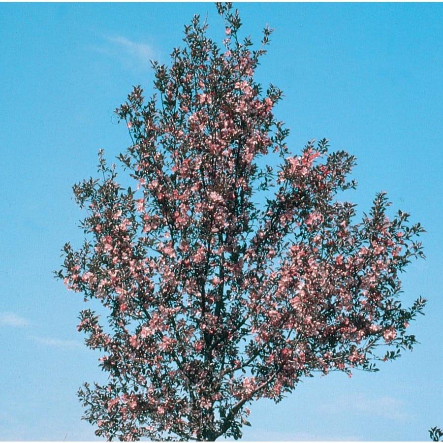 7.28-Gallon Velvet Pillar Crabapple Flowering Tree (L17155)