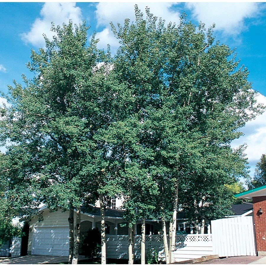 7.28-Gallon Trembling Aspen Shade Tree (L4358)