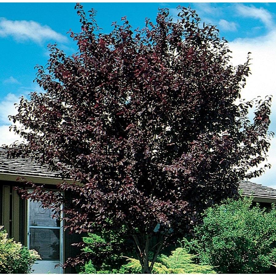 7.28-Gallon Thundercloud Flowering Plum Flowering Tree (L3215)