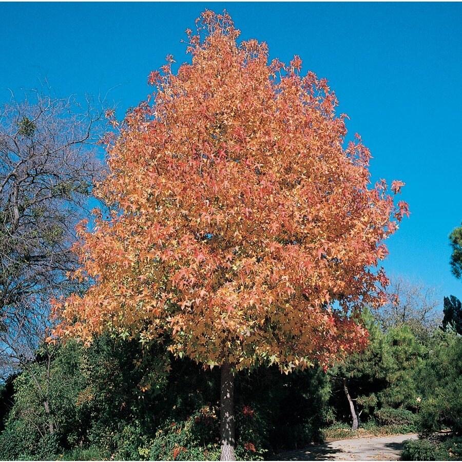 7.28-Gallon New Bradford Flowering Pear Flowering Tree (L24033)