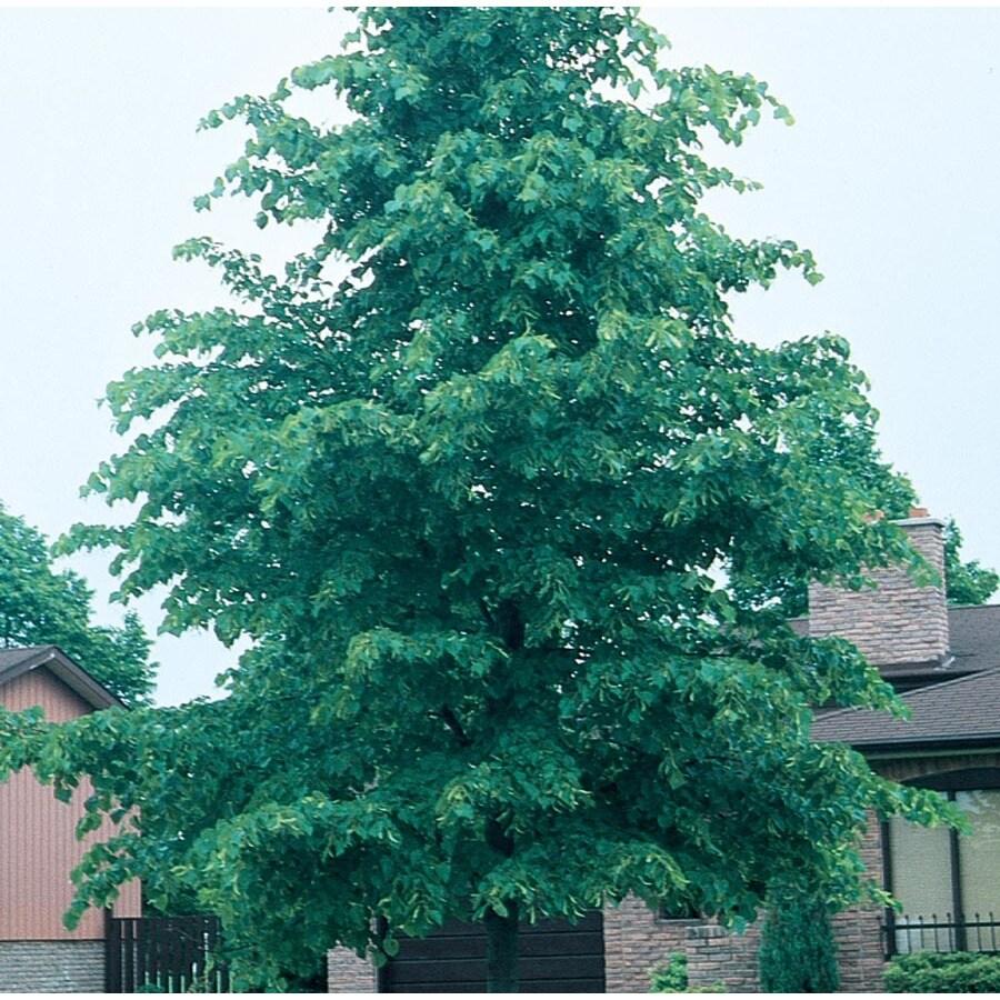7.28-Gallon Glenleven Linden Shade Tree (L1098)