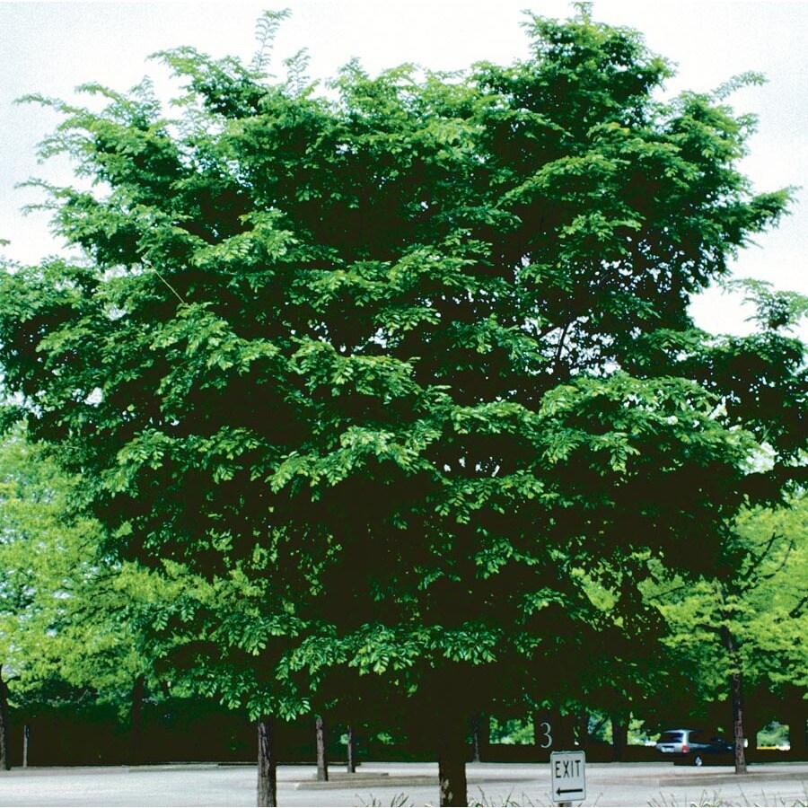 7.28-Gallon Patriot Elm Shade Tree (L27259)
