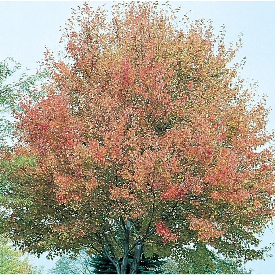12.7-Gallon Northwood Red Maple Shade Tree (L4223)