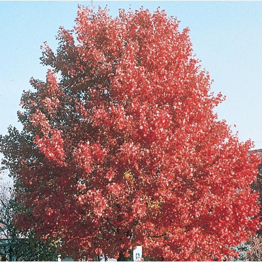 12.7-Gallon October Glory Maple Shade Tree (L3171)