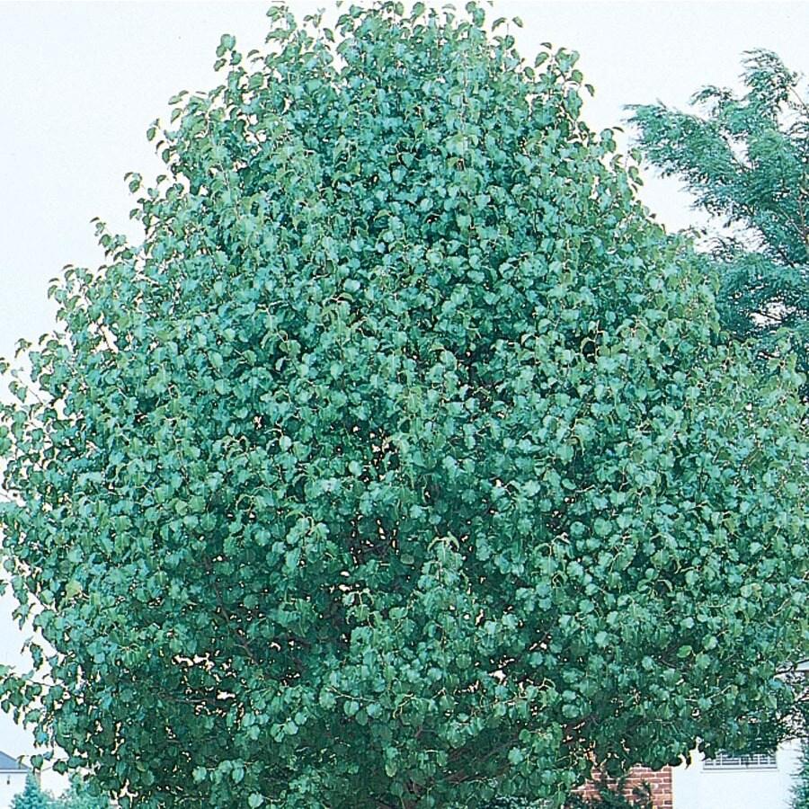 12.7-Gallon Redspire Flowering Pear Flowering Tree (L3667)