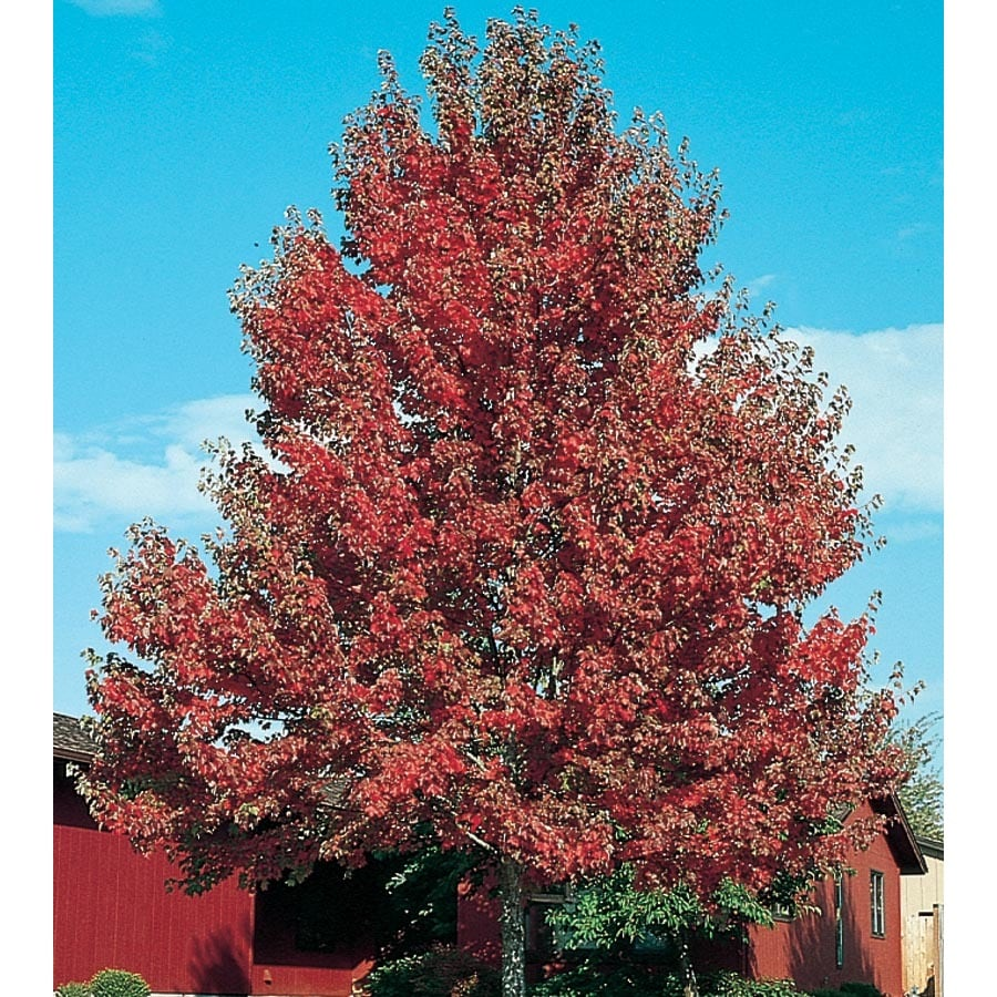 12.7-Gallon Somerset Red Maple Shade Tree (L21697)